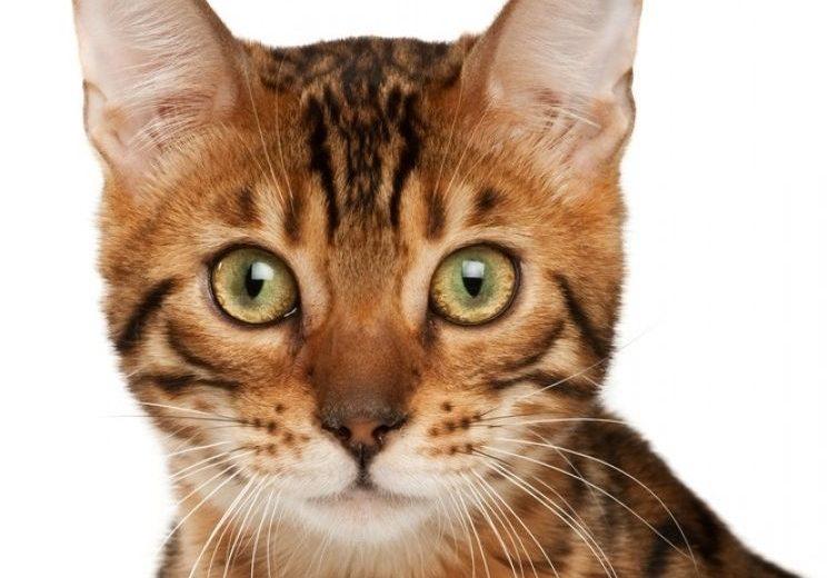 El pelo del gato: cepillado, alimentación y cuidados.