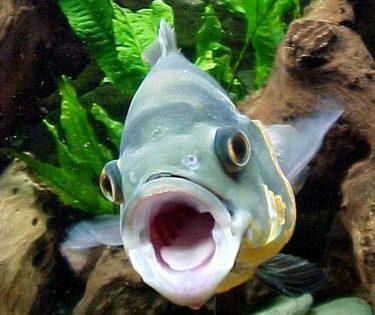 La boca de los peces