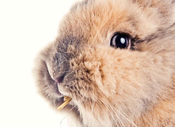 La orina de mi conejo es roja. ¿Debo preocuparme?