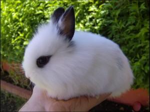 Consejos para cuidar a tu conejo enano Angora