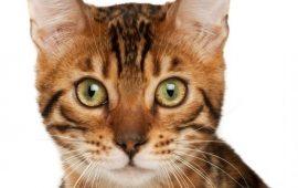 Un antiviral utilizado en gatos también funciona contra el Covid-19