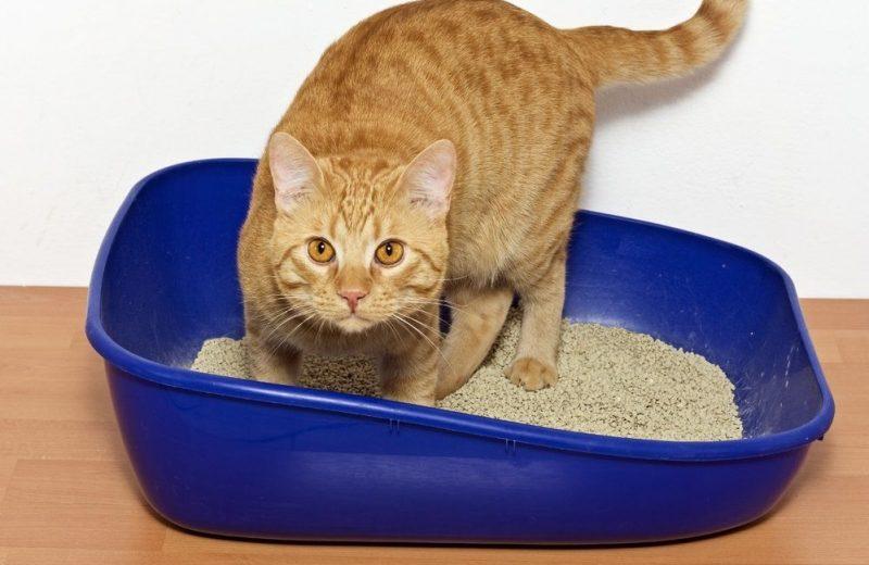 ¿Cómo hacer que el gato use la caja de arena?