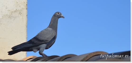 Digestión lenta en palomas mensajeras