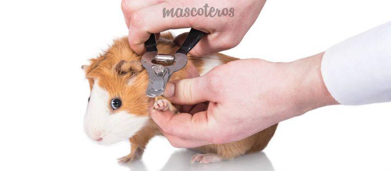 El corte de uñas en los roedores