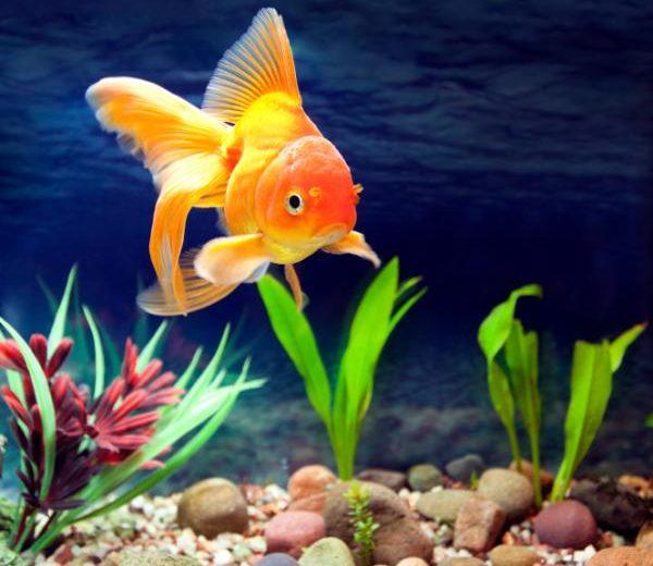 Ventajas de utilizar un calentador de fondo para el acuario