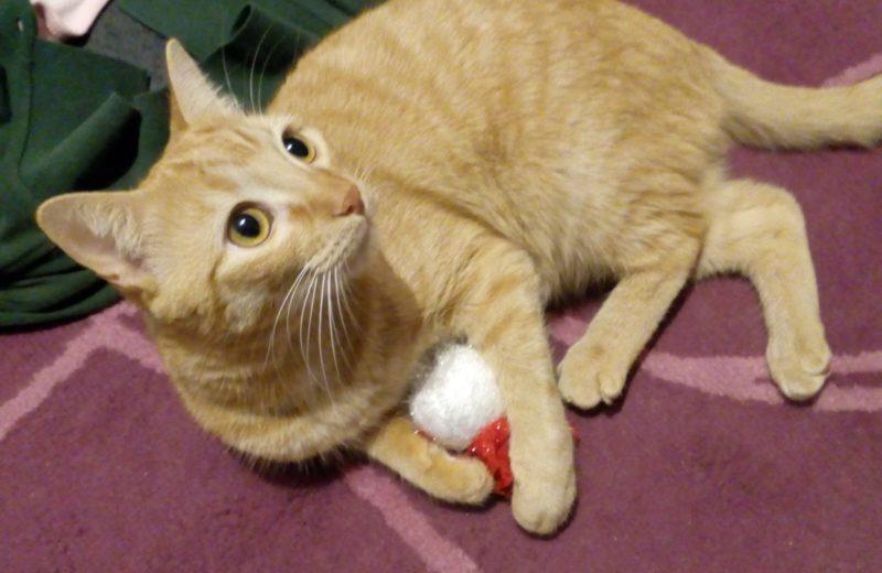 ¿Por qué los gatos naranjas suelen ser machos?