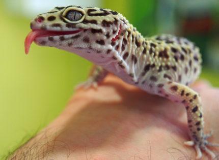 ¿Crees que podrías satisfacer todas las necesidades de bienestar animal si te compras un reptil?