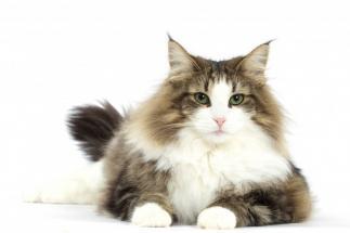 ¿El color del pelo influye en el comportamiento del gato?