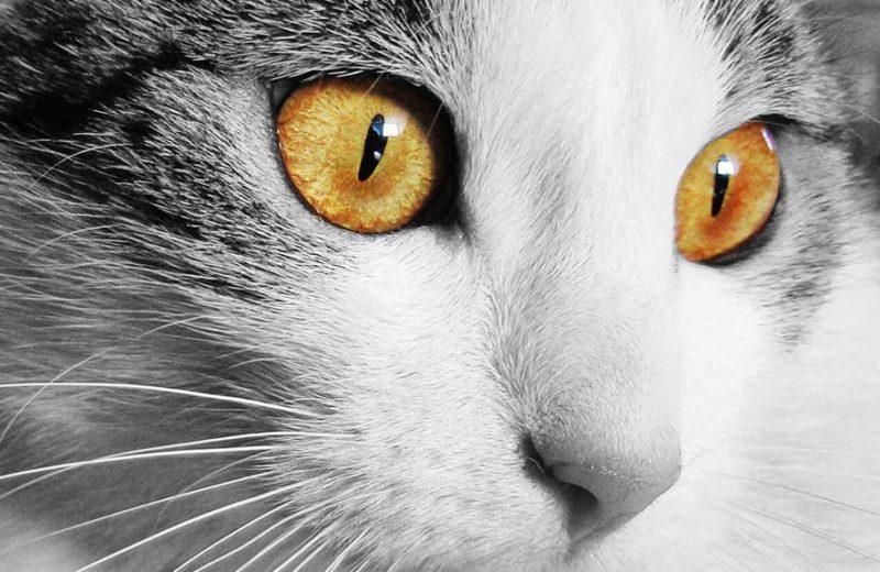 Seis razones por las cuales el gato no debe de tener ninguna pulga