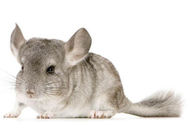 Golpe de calor en chinchillas