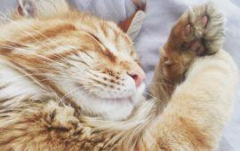 ¿Por qué los gatos duermen encima de las personas?
