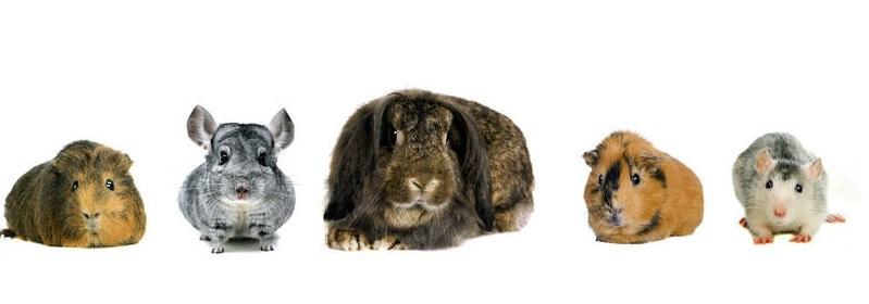 Condiciones necesarias antes de adoptar un pequeño mamífero