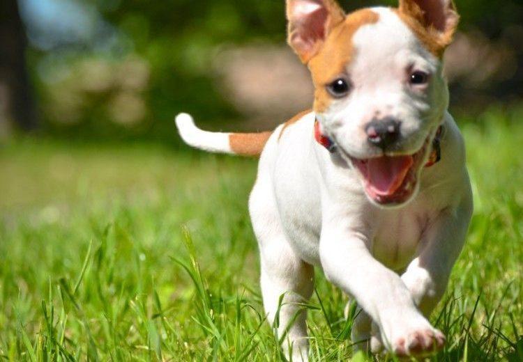 ¿Por qué es peligroso amputar la cola de los perros?