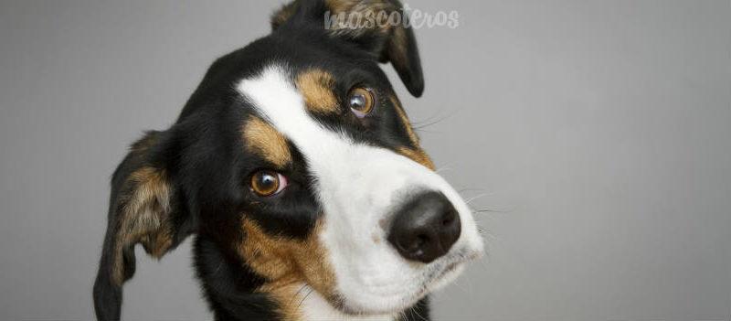 ¿Por qué los perros inclinan la cabeza?