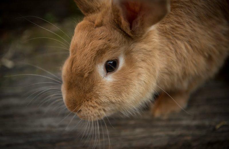 Ocho consejos para mantener limpia la jaula de un conejo