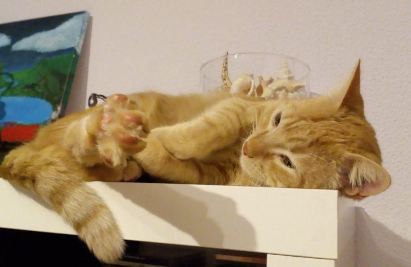 Cómo es el sueño en la vida del gato