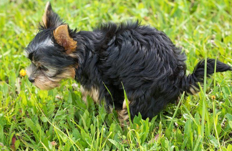 Estreñimiento en perros, soluciones