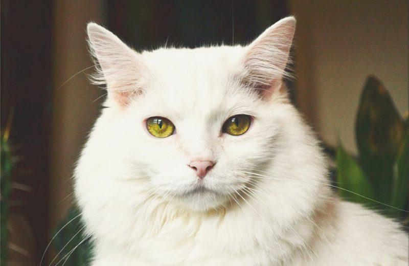 Feromonas para gatos, ¿qué son y cómo utilizarlas?