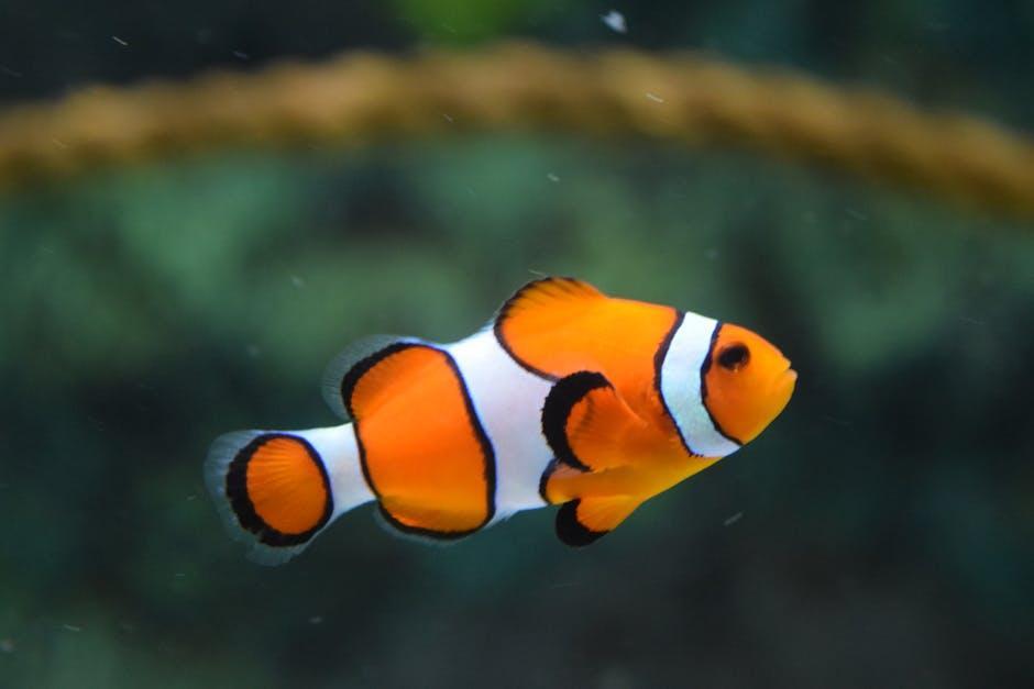 ¿Cómo saber si mi pez está preñada?