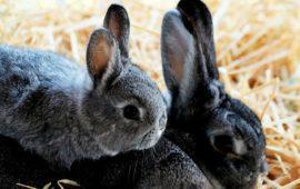 La mixomatosis en los conejos