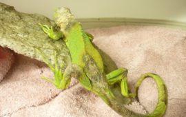 Tiña (dermatofitosis) en reptiles