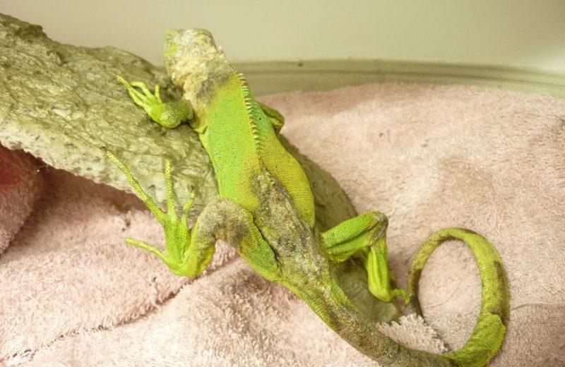 Iguana dermatofitosis