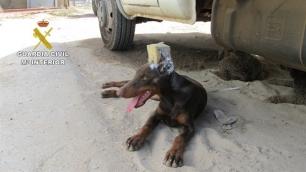 Investigado en Huelva por cortar las orejas a su perro de raza peligrosa sin control veterinario