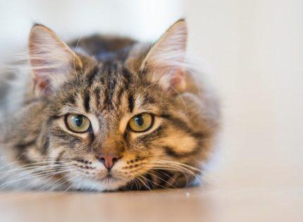 Enfermedades cognitivas encuentra paralelismos entre las condiciones felinas y humanas