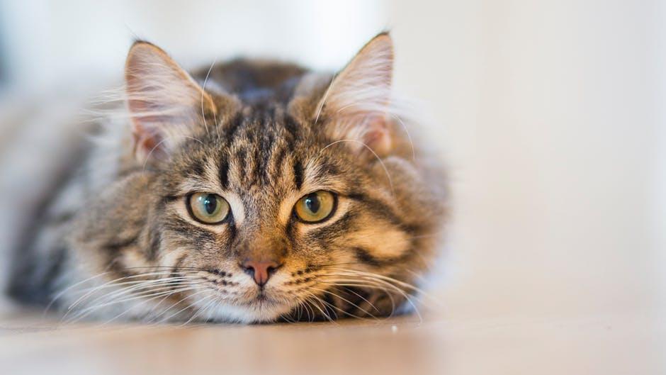 Gatos - Seguro para gatos