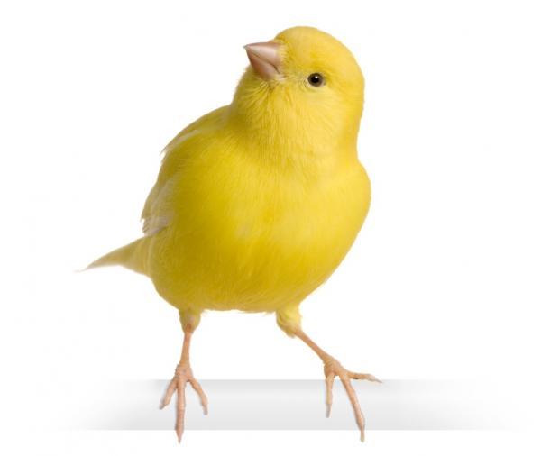 La alimentación en los canarios