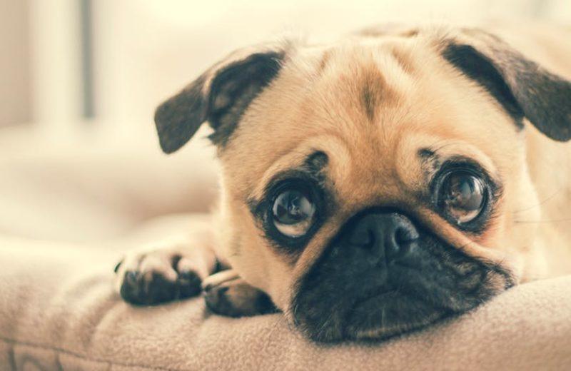 Depresión perros