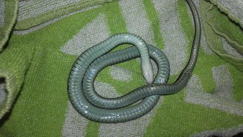 Enfermedad neurológica serpientes