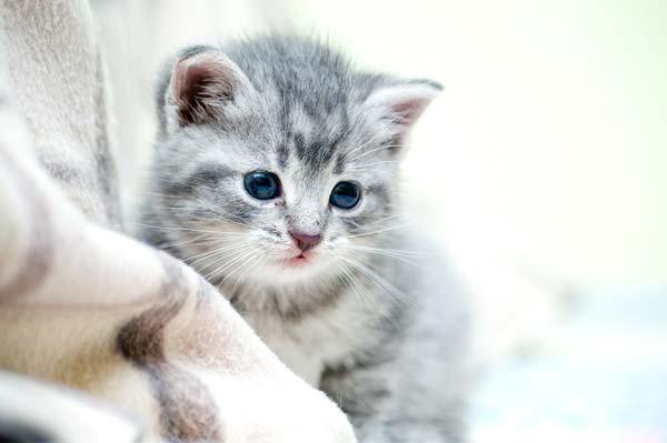Claudicación gatos
