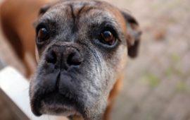 Trastornos del comportamiento en perros gerontes