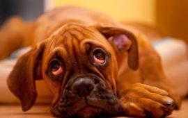 ¿Teme su perro a la soledad?