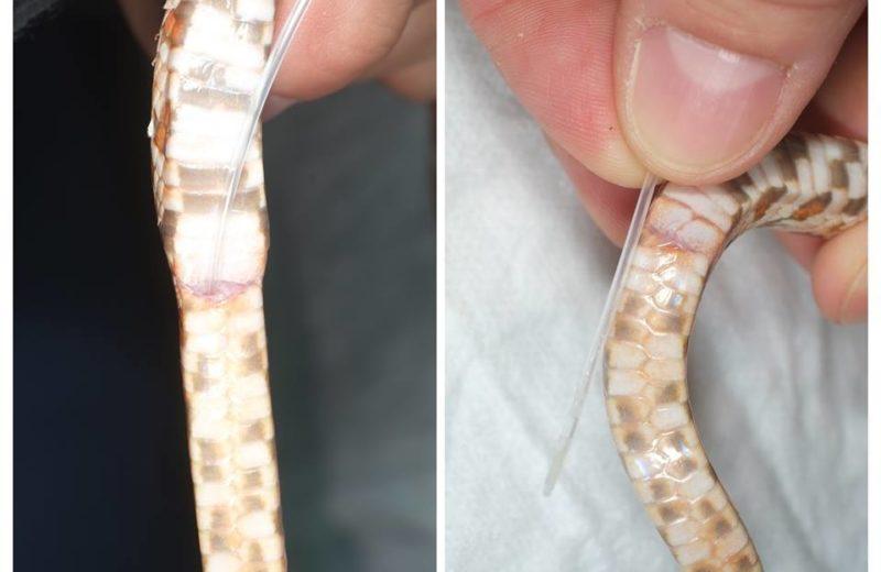 Sexado serpientes