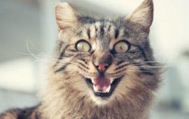 Mal aliento en gatos: siete trucos para acabar con él