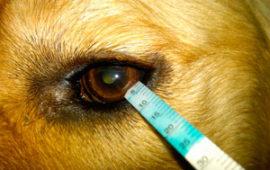 El ojo seco canino puede causar ceguera si no se trata a tiempo.