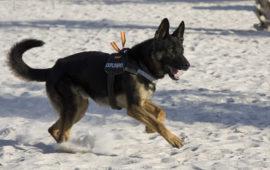 Perros policía y de rescate