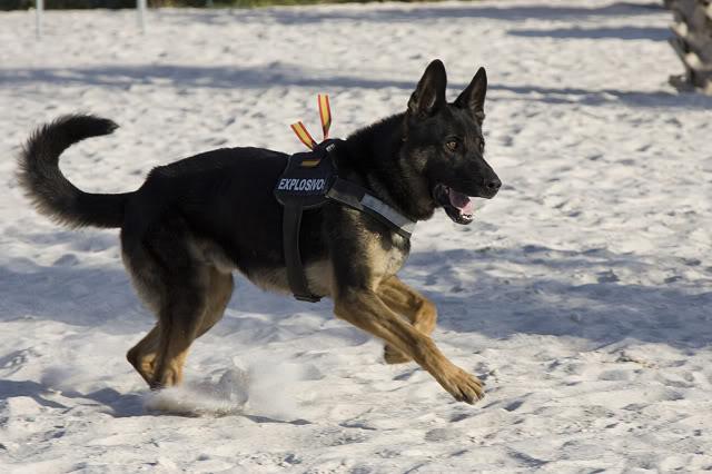 Perros de búsqueda de explosivos