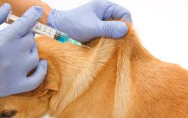 La vacuna de la rabia en perros, ¿es obligatoria?