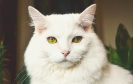Las razas de gatos más buscadas