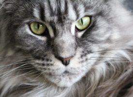 Enfermedades piel gatos