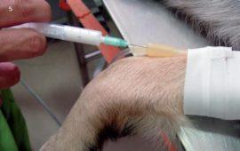 ¿Todas las mascotas se pueden anestesiar y operar?