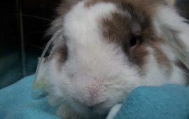 El cólico en los conejos