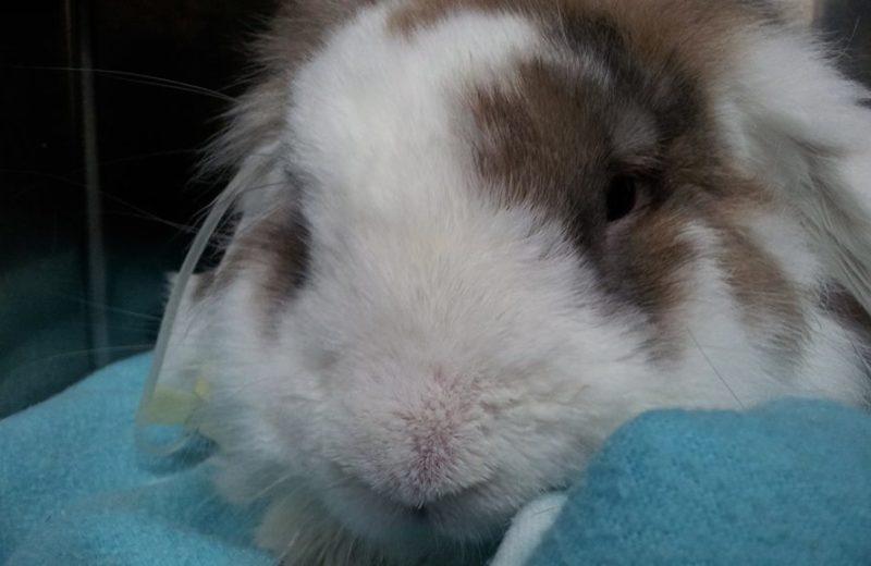 Conejo con cólico