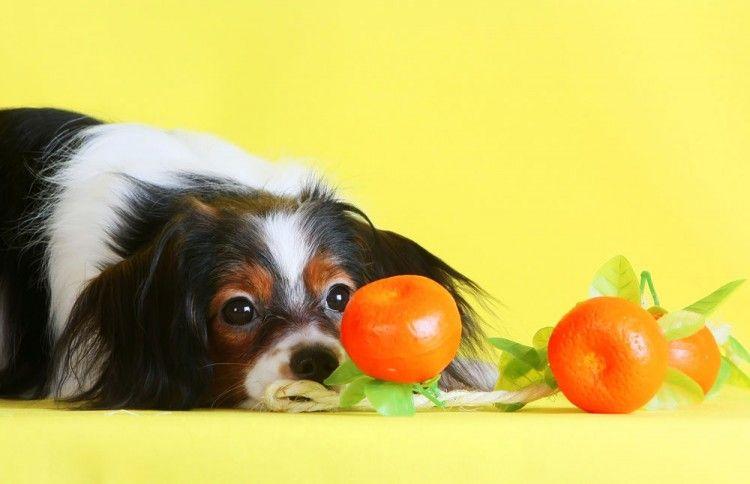 Perros comer naranjas