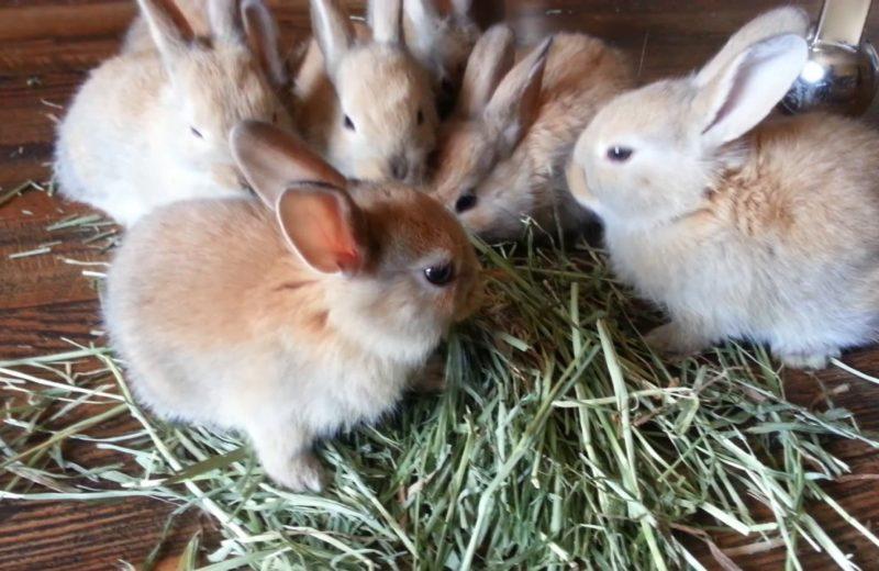 ¿A qué velocidad se come el heno un conejo sano?