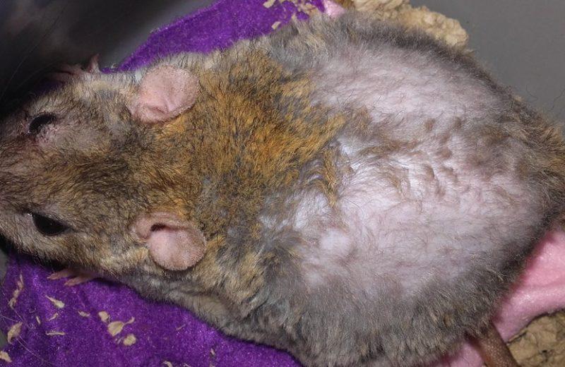 Pérdida de pelo causado por tumores ováricos en ratas