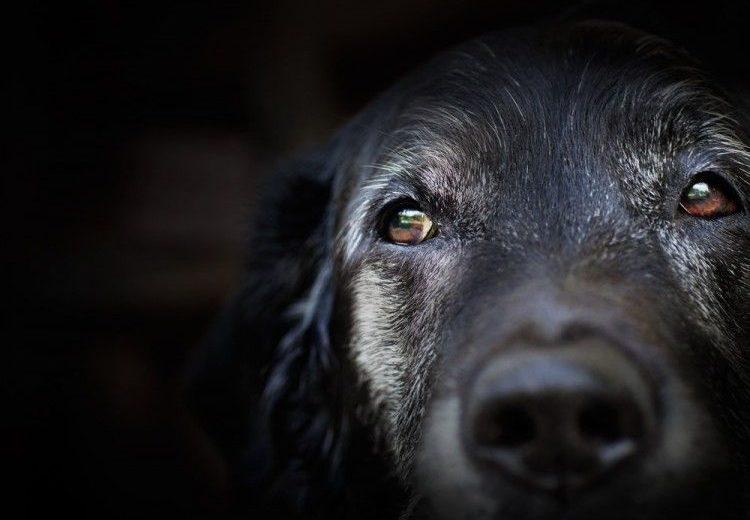 Seis secretos sobre las canas en perros que deberías conocer